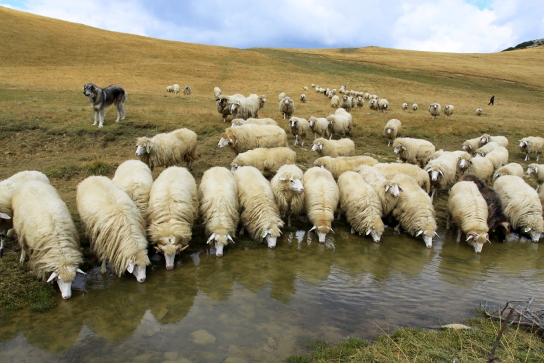 Sheeps_drink_from_Lumbardh_lake